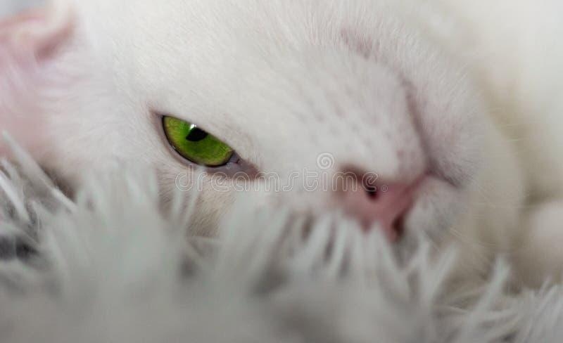 Gatos blancos del hogar del gato de la mirada del ojo verde del amor del amigo de los animales del gato imágenes de archivo libres de regalías