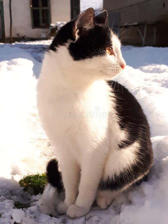 Gatos blancos y negros fotografía de archivo