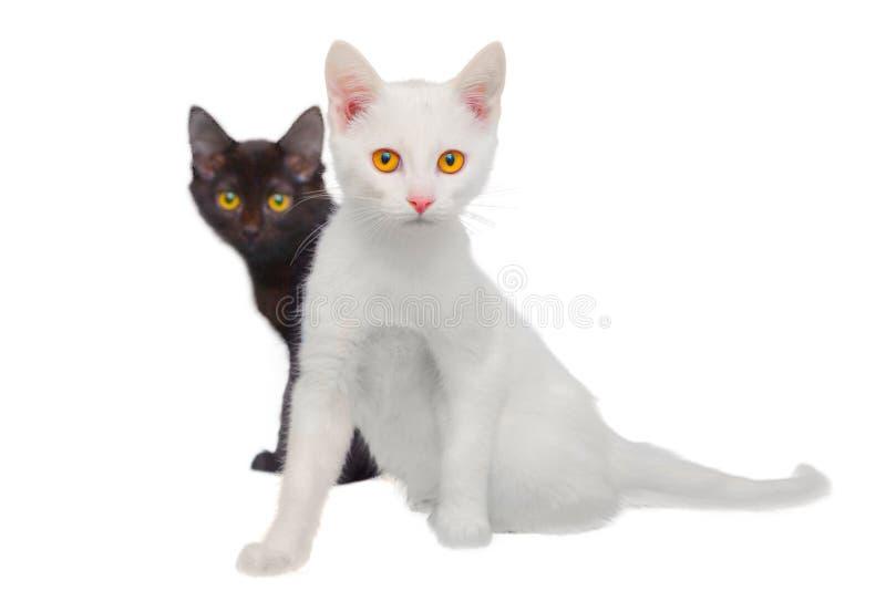 Gatos blancos y negros imagen de archivo libre de regalías