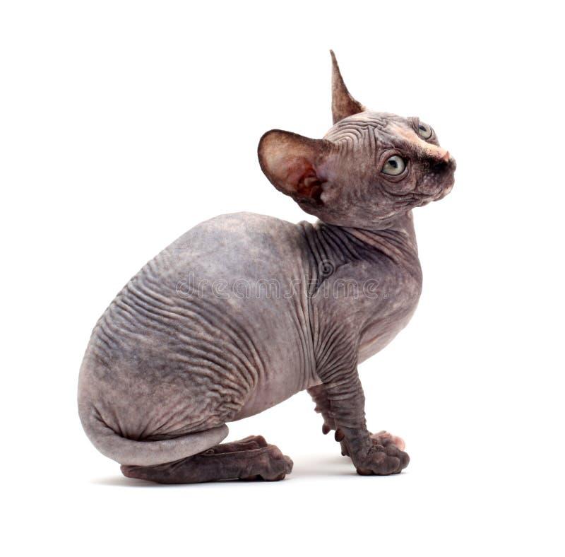 Gatos calvos do Sphinx foto de stock