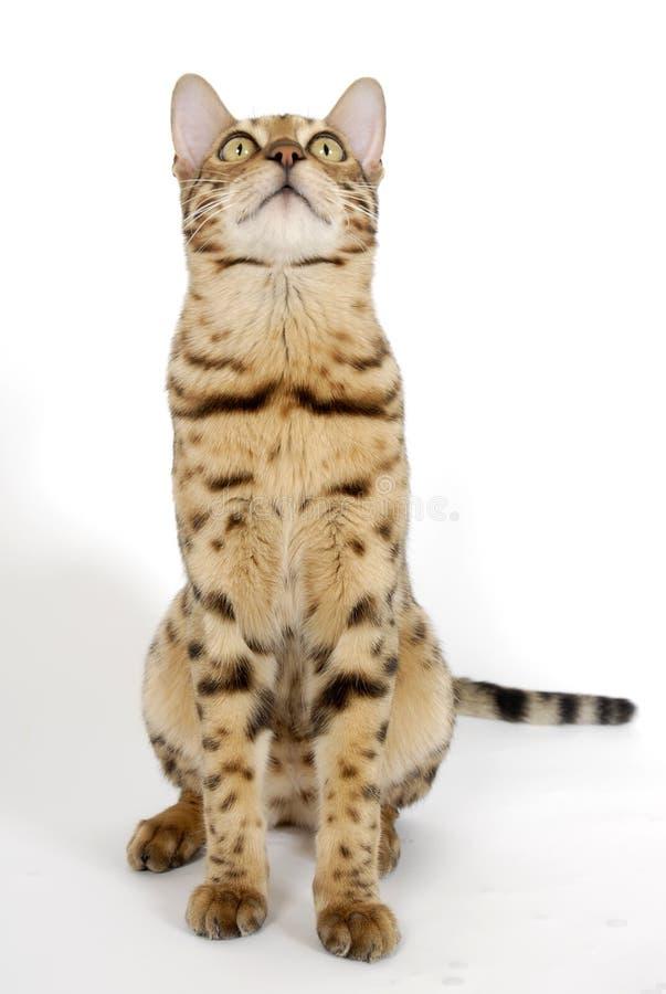 Gatos de Bengal - tigres fotos de stock