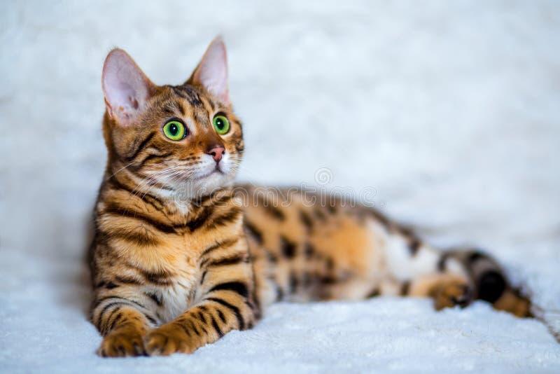 Gatos de Bengal - tigres fotografia de stock royalty free