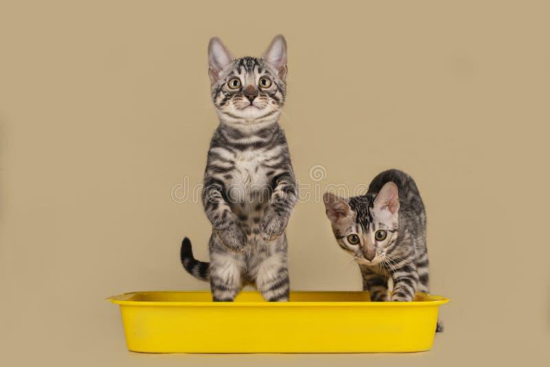 Gatos de Bengala en una bandeja en un fondo aislado ligero imagenes de archivo