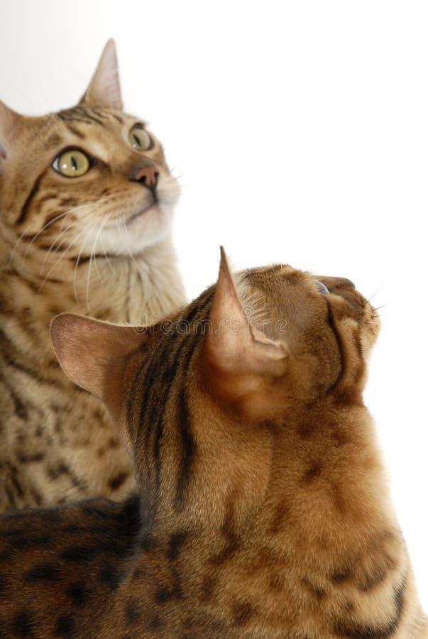 Gatos de Bengala - tigres foto de archivo libre de regalías