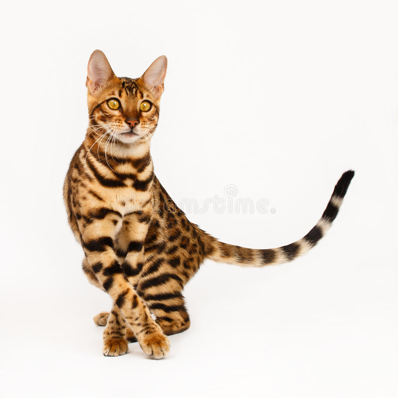 Gatos de Bengala - tigres fotos de archivo libres de regalías