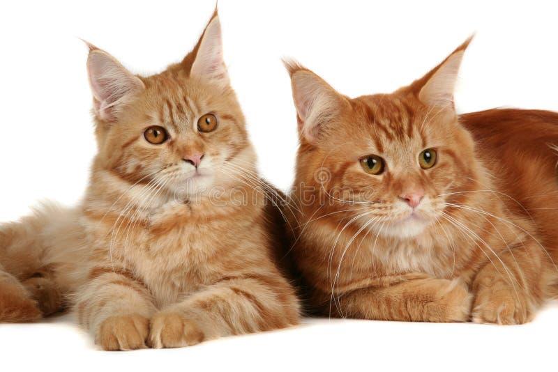 Gatos de coon de Maine imagens de stock