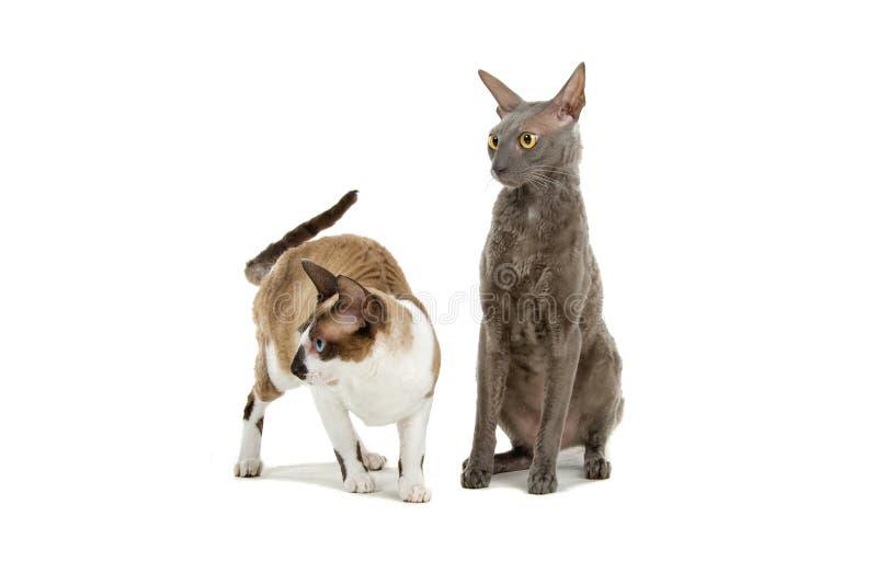 Gatos de Cornualles de Rex fotos de archivo