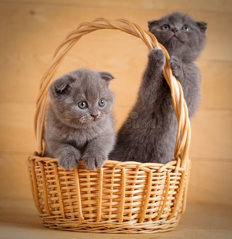 Gatos de Gray Scottish que jogam na caixa de madeira imagens de stock royalty free