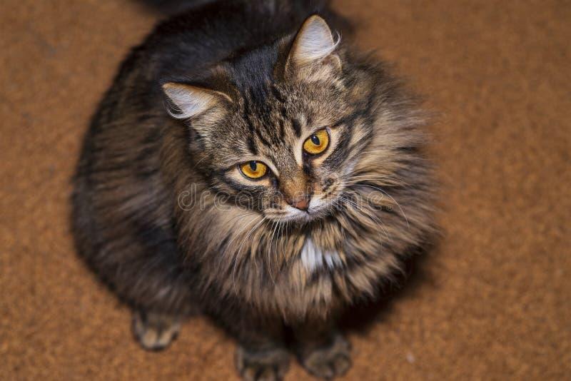 Gatos de racum de Maine da coloração cinzenta imagem de stock royalty free