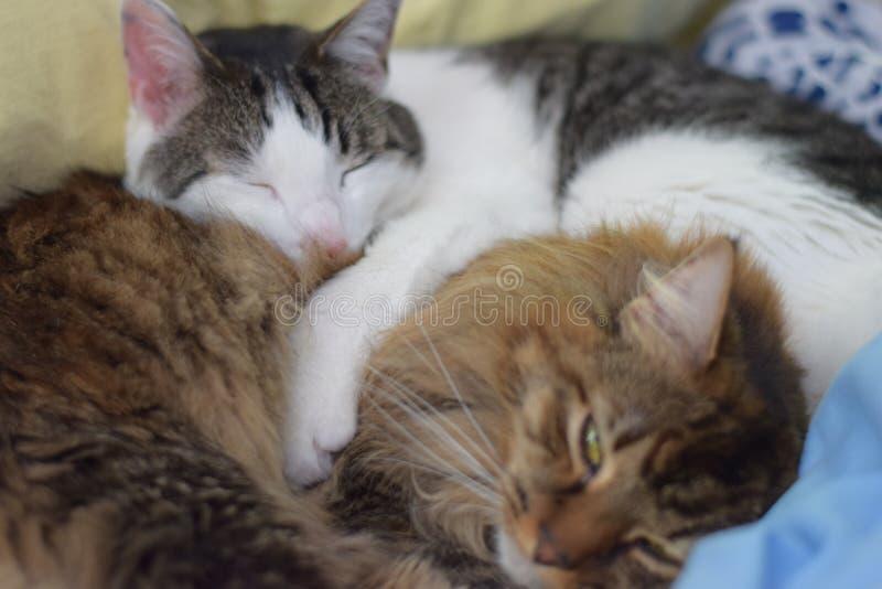 Gatos de racum de Maine da dormida fotografia de stock royalty free