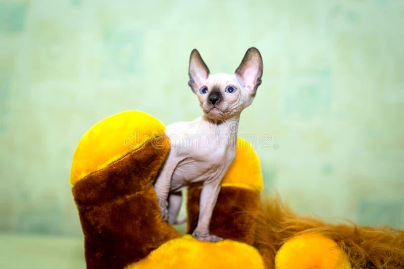 Gatos de Sphynx com olhos azuis foto de stock