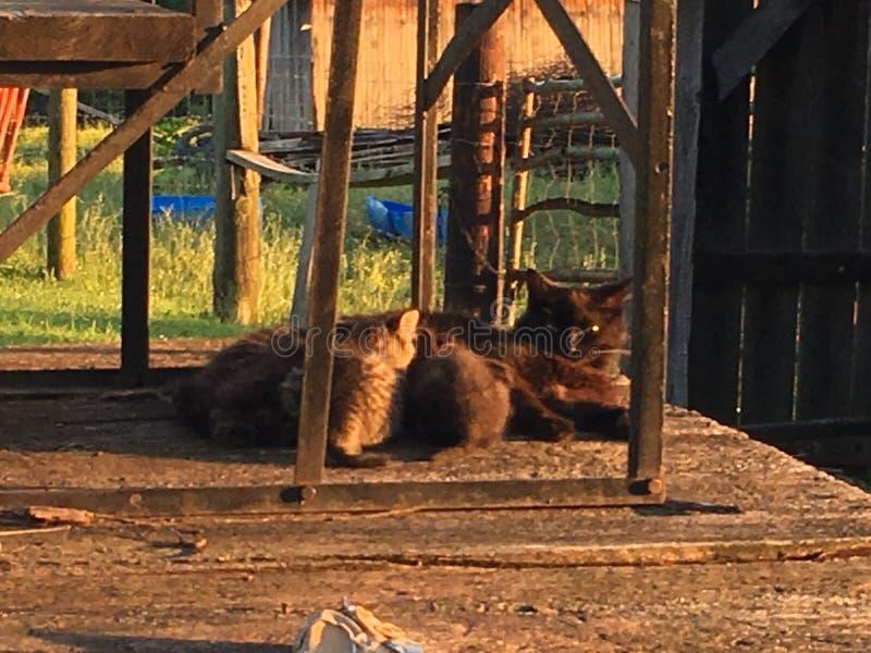 Gatos del granero del país fotografía de archivo libre de regalías