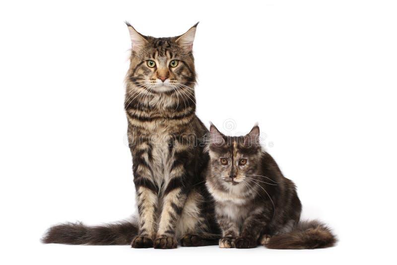 gatos del Maine-coon imagen de archivo