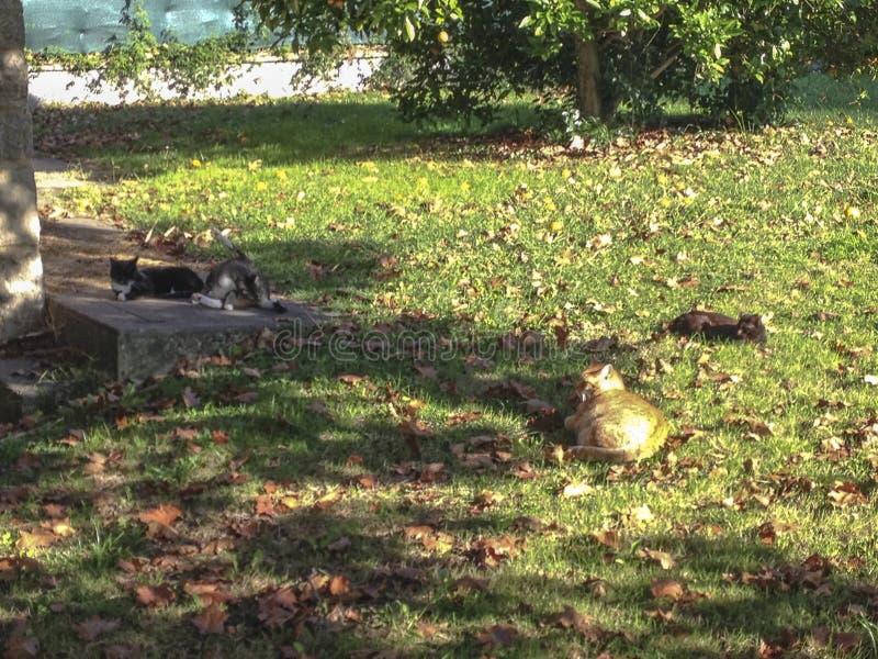 Gatos dispersos que descansam callejeros de Gatos imagem de stock royalty free
