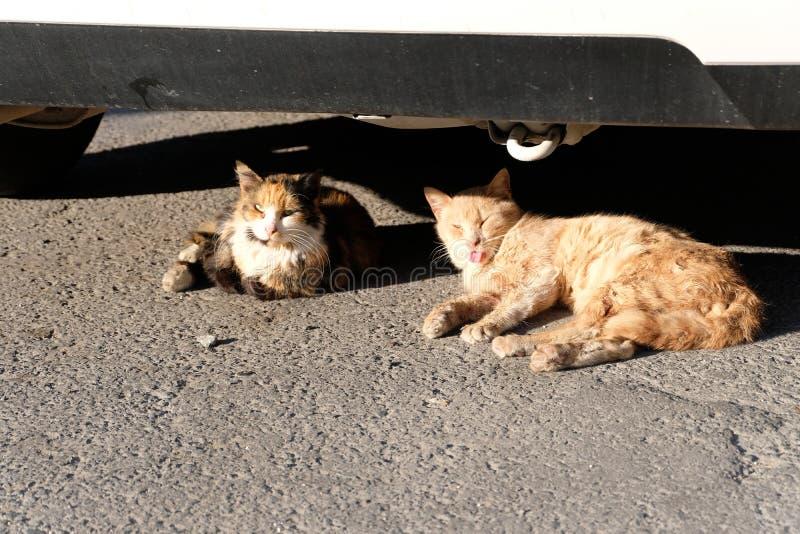 Gatos do banho de sol de Chipre Gato engraçado que cola para fora sua língua imagem de stock royalty free