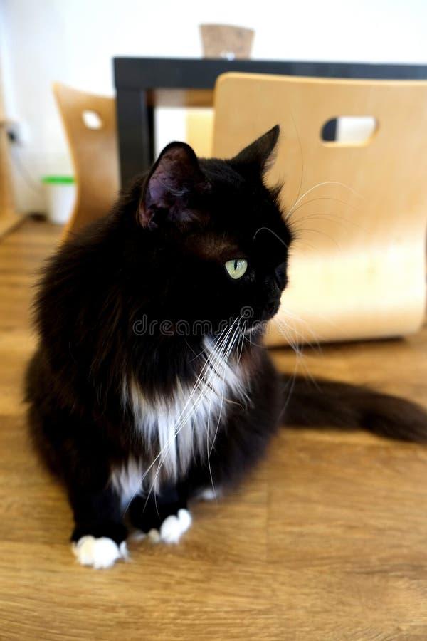 Gatos do café - Blackie imagens de stock