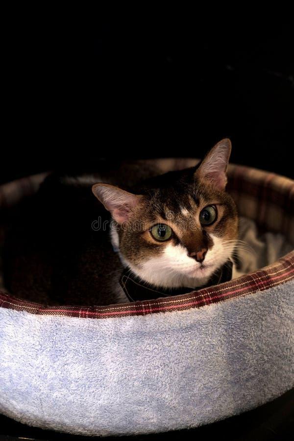 Gatos do café - olhos inocentes fotografia de stock