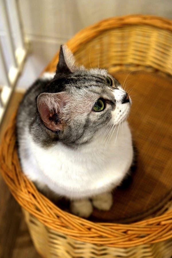 Gatos do café - vaquinha que olha na curiosidade fotos de stock royalty free