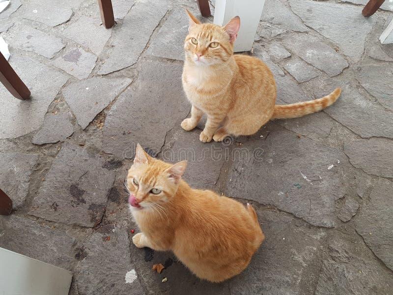 Gatos do gengibre de Pompeia imagens de stock royalty free