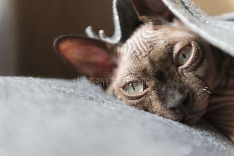 Gatos do Puss da raça o canadense Sphynx foto de stock