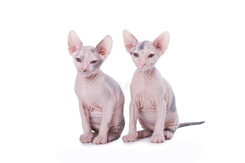 Gatos do Sphinx imagens de stock