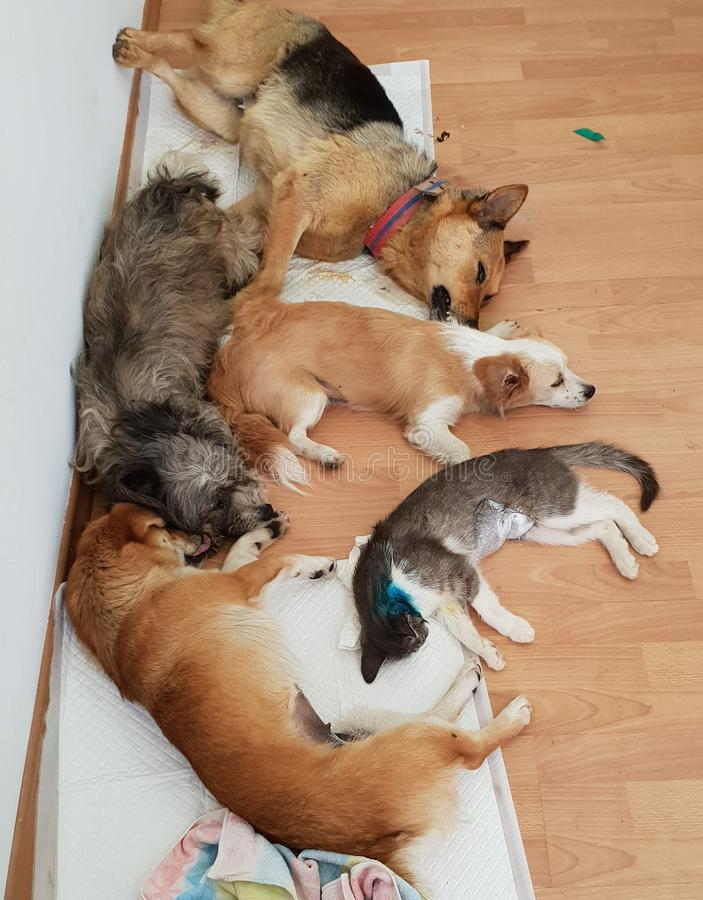 Gatos e cães do sono no assoalho de madeira fotografia de stock royalty free