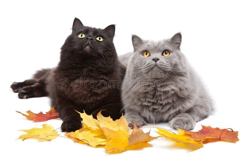 Gatos e folhas de outono   foto de stock