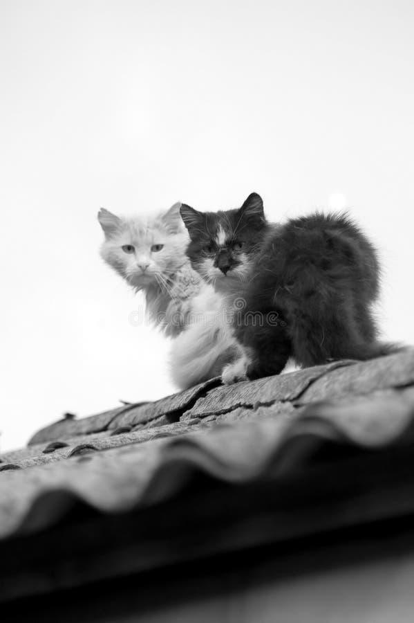 Gatos em um telhado. Monocromático imagens de stock