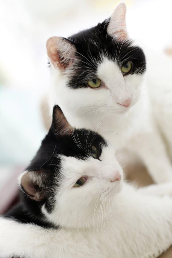 Gatos gêmeos fotografia de stock royalty free