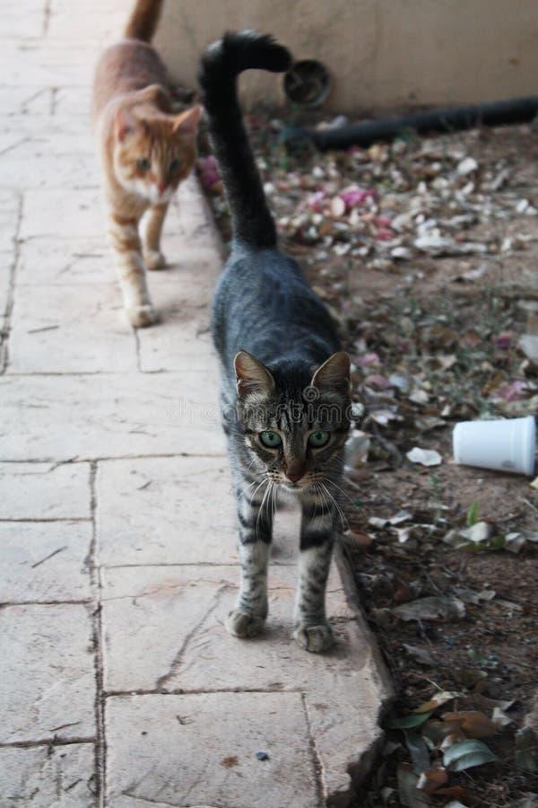 Gatos hambrientos en Chipre que piden la comida imagenes de archivo