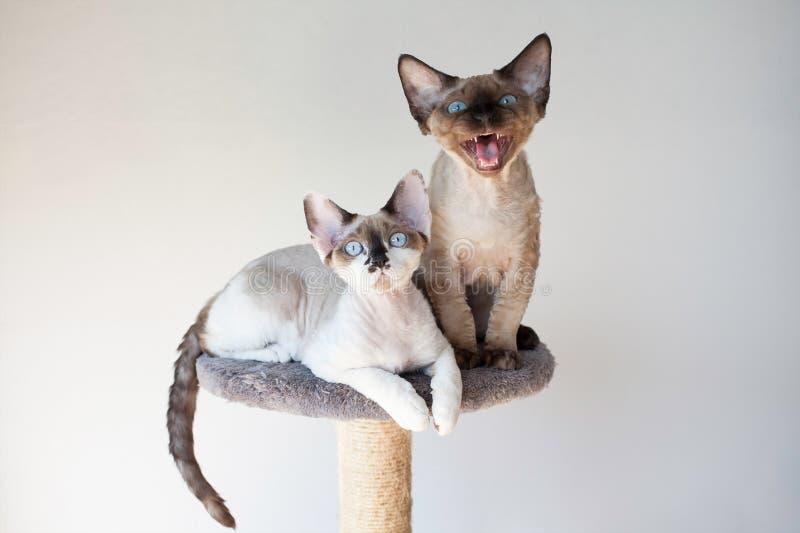 Gatos hermosos del rex de Devon que se sientan en los posts de rasguño imagen de archivo libre de regalías