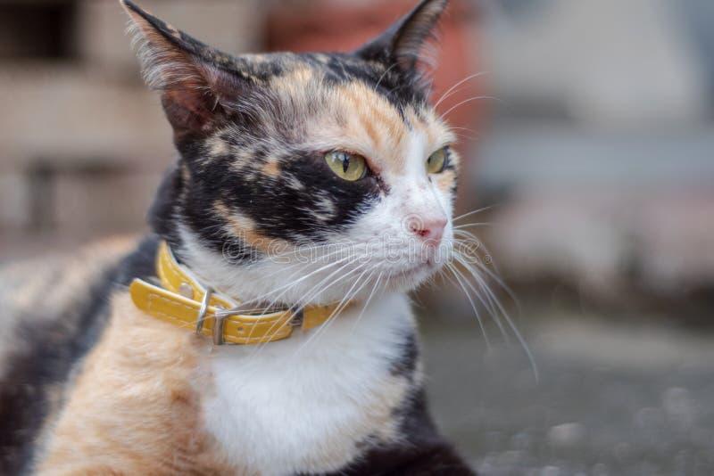 gatos misturados da Três-cor fotografia de stock royalty free