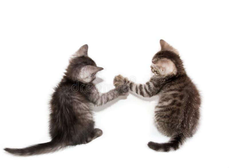 Gatos novos escoceses bonitos fotografia de stock royalty free