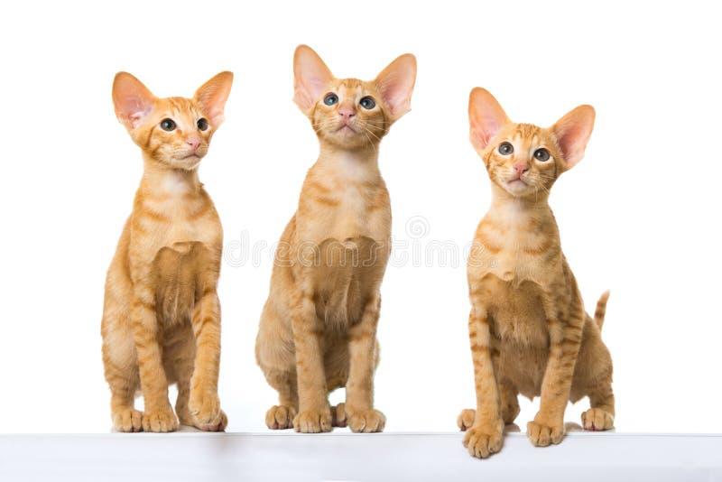 Gatos orientais do cabelo curto imagens de stock