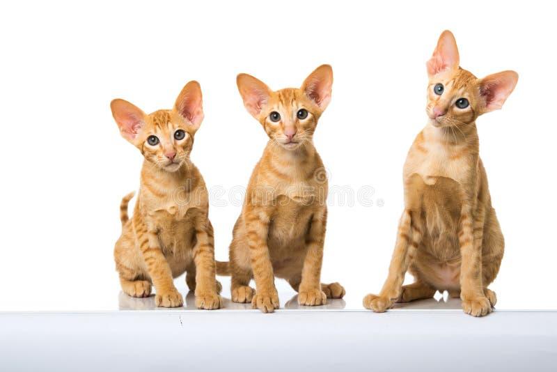 Gatos orientais do cabelo curto fotografia de stock royalty free