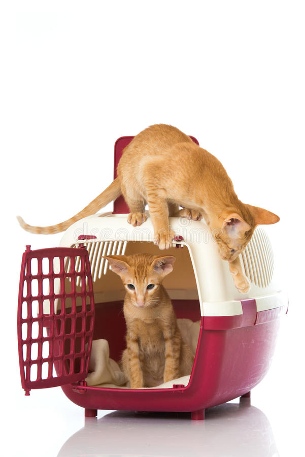Gatos orientales del pelo corto fotografía de archivo