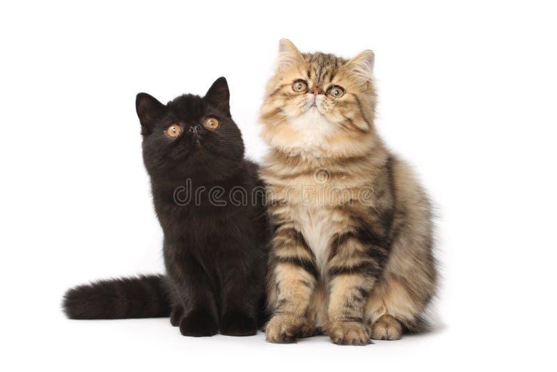Gatos persas imagenes de archivo