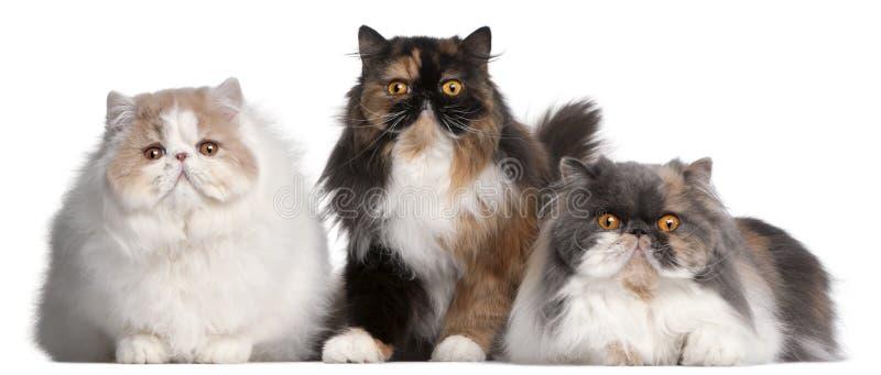 Gatos persas fotografia de stock