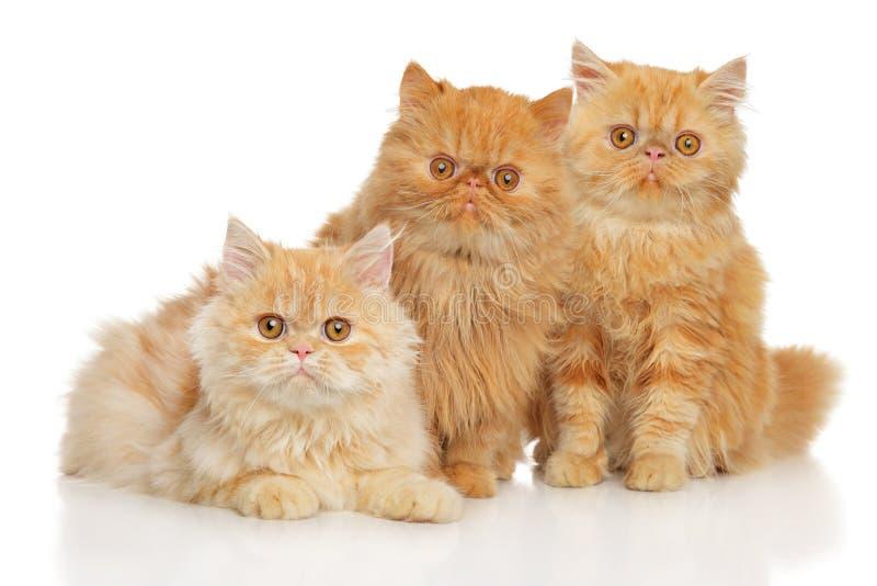 Gatos persas fotografia de stock royalty free