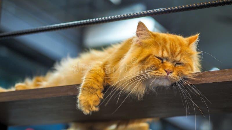 Gatos persas que duermen en el entresuelo imagen de archivo