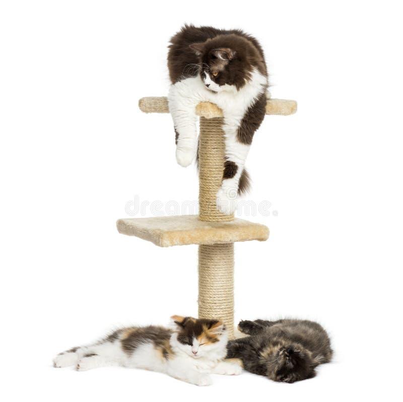 Gatos que mienten alrededor y en de un árbol del gato, aislado imágenes de archivo libres de regalías
