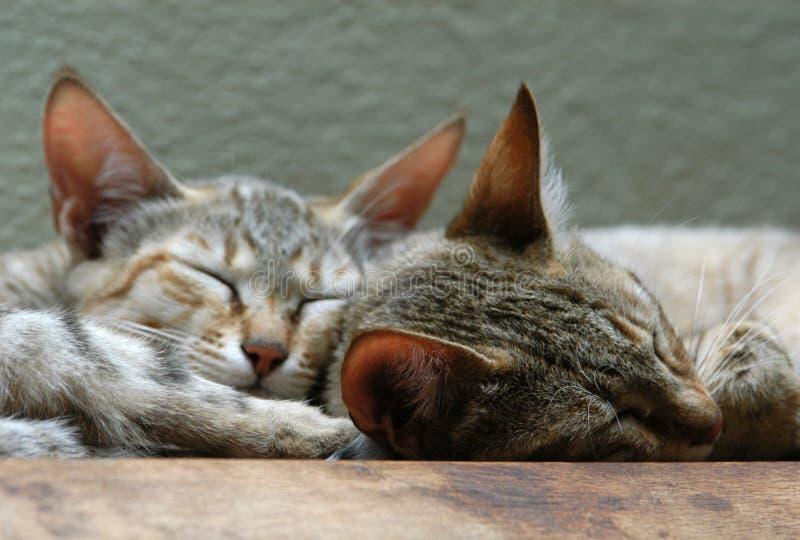 Gatos selvagens árabes fotografia de stock