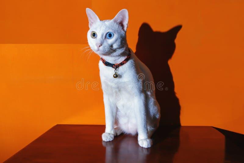 Gatos Siamese de Khao Manee fotografia de stock