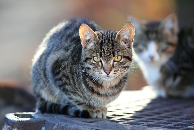 Gatos siberianos grises hermosos foto de archivo libre de regalías