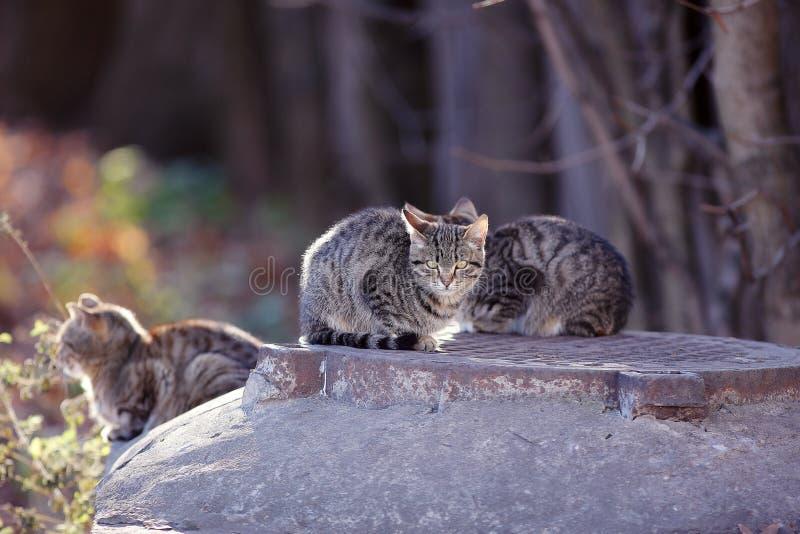 Gatos siberianos grises hermosos fotografía de archivo