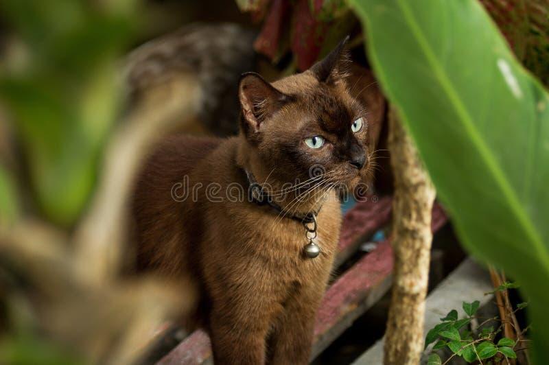 Gatos tailandeses fotografía de archivo