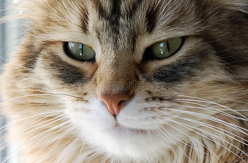 Gatti, animali domestici lanuginosi adorabili fotografia stock libera da diritti