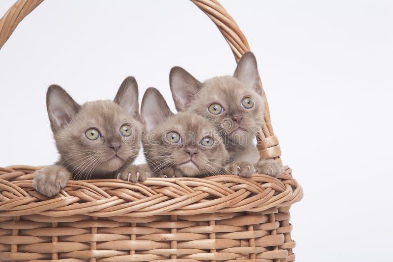 Gatti Burmese in grande cestino immagini stock libere da diritti