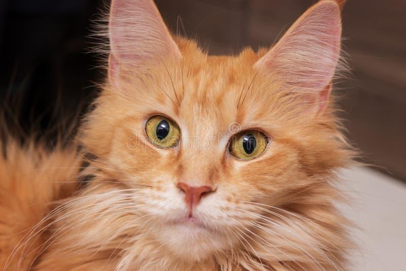 Gatti capi Maine Coon Bei gattini di razza della fossa di scolo da vendere Maine Coon fotografie stock