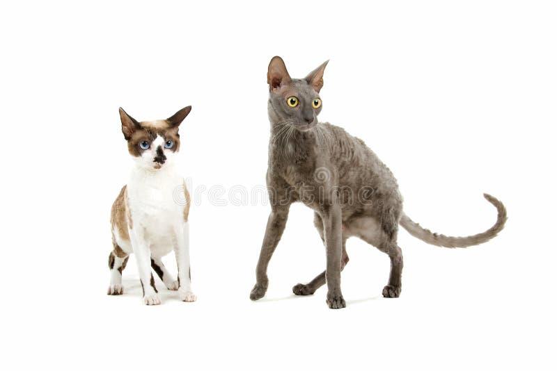 Gatti della Cornovaglia di Rex fotografia stock